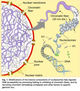 Kromatin, Kromosom dan DNA
