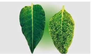 Penyakit Bintik-bintik Kuning Daun Tembakau (Sumber:www.en.cigarclan.com)