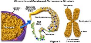 Pengertian Kromatin, Kromosom dan Strukturnya