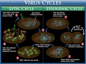 Daur Hidup Virus (Sumber: www.coryvannote.com)