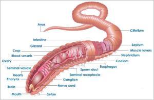 Nephridia pada Annelida