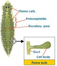 protonephridia-flame-bulb-planaria