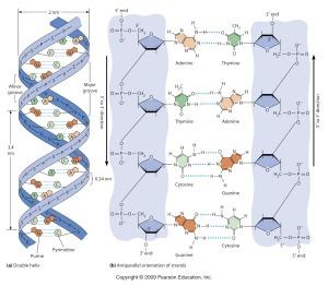 Struktur Double Helix