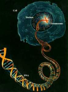 DNA dan Inti Sel