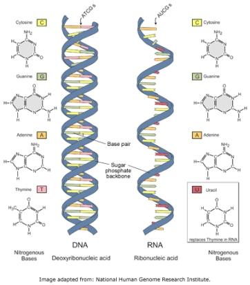 Perbandingan struktur DNA dan RNA