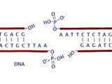Restriksi DNA