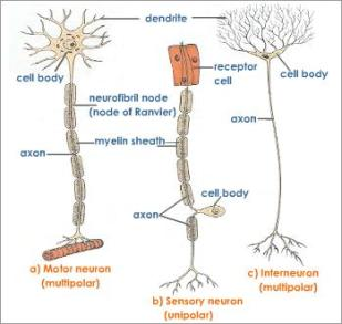 types-of-neuron-in-human